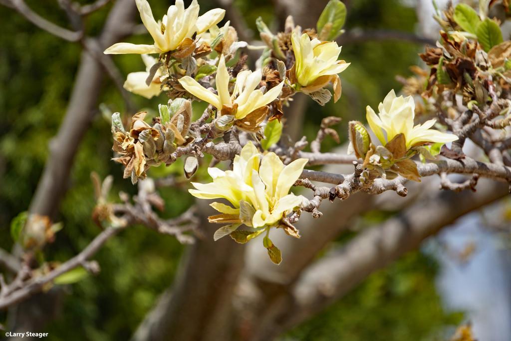 Tulip tree in bloom by larrysphotos