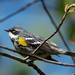 Yellow-rumped Warbler by pattyp