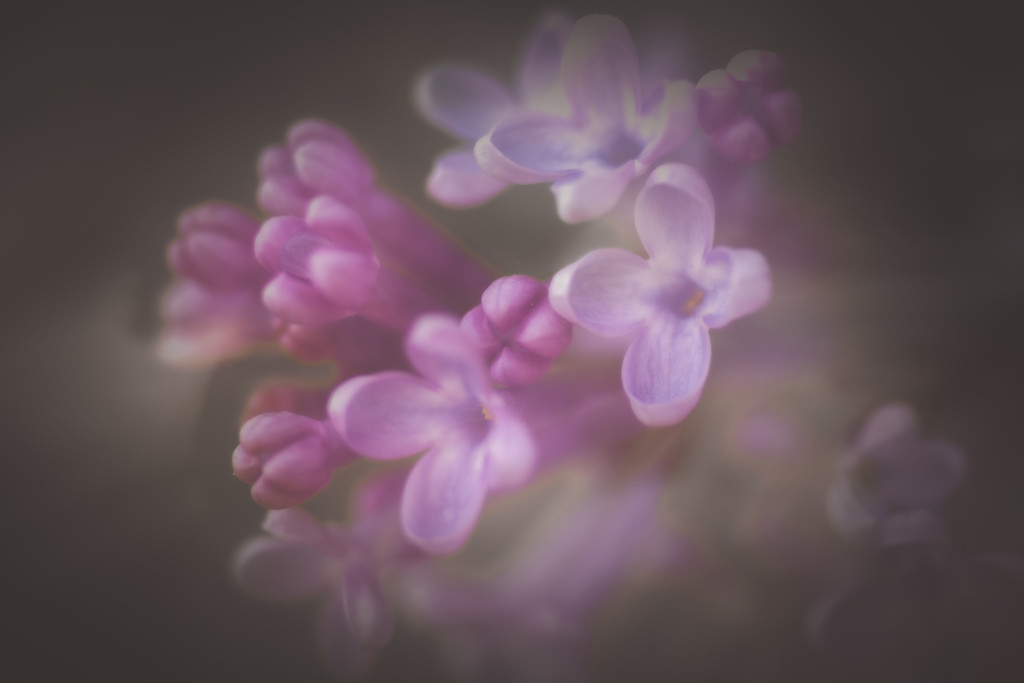lilacs double exposure by jackies365
