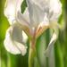 iris by jackies365