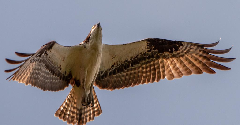 Osprey Underside! by rickster549