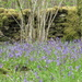 bluebell wood wall