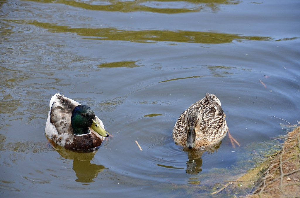 Mr Duck with his other half by wakelys