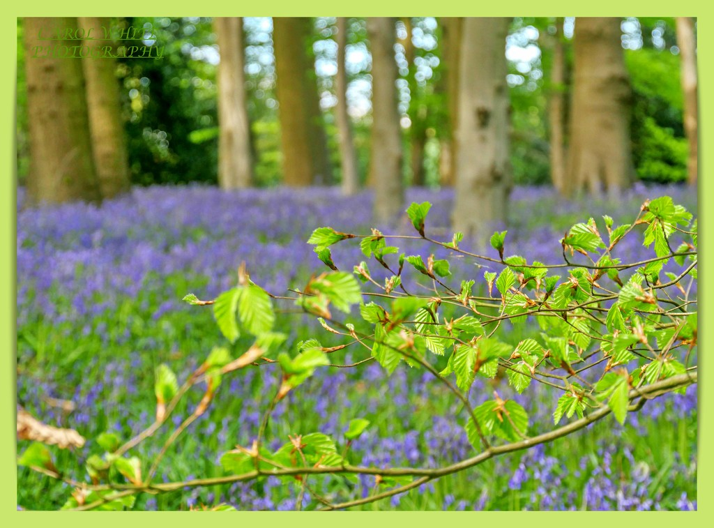 Green Leaves And Bluebells by carolmw