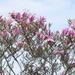 Pink Magnolias.