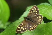 13th May 2021 - Speckled Wood