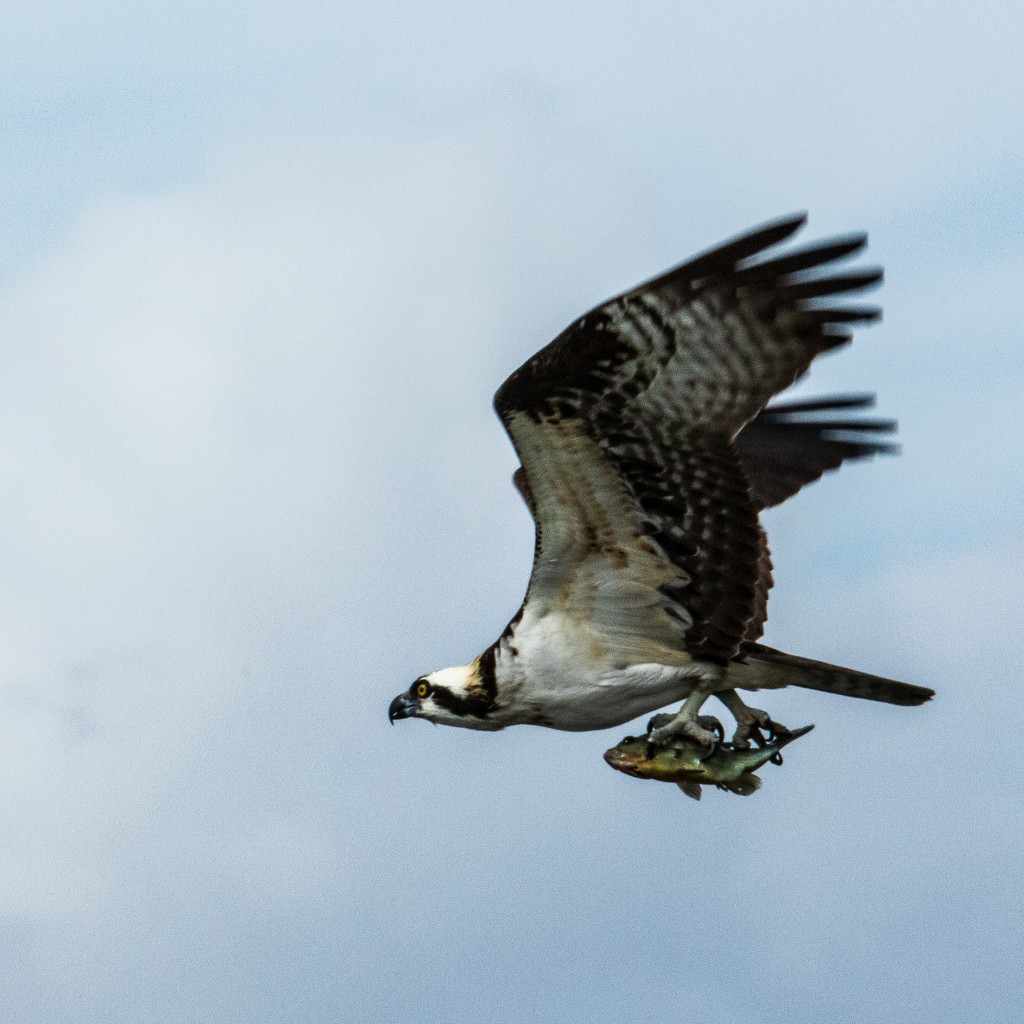 Osprey With Supper by photograndma
