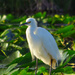 Egret Watching Me