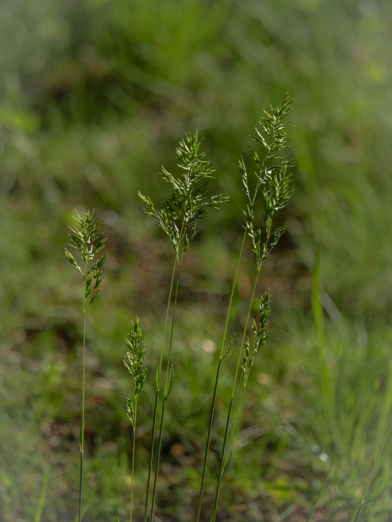 The common meadow-grass by haskar