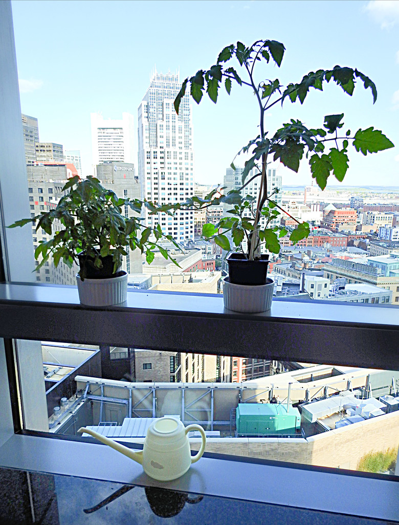The Tomatoes That (Plan To) Take Over Boston by ddw