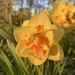 Finally Some Daffodils Sprung to Life in my Garden