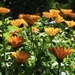 Marigolds (Calendula)