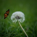 "A dead butterfly ""flying"" to land on a dandelion"