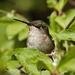 Ruby-throated Hummingbird (female) by annepann