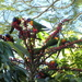 Colourful Lorrikeets feasting on the Umbrella Tree flower