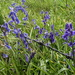 Bluebells and Barbs