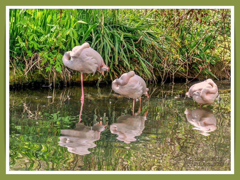 Sleeping Flamingoes by carolmw