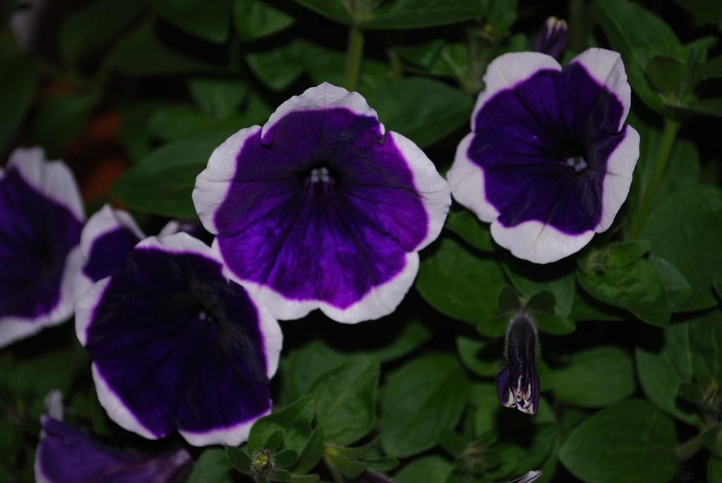 pretty petunia  by stillmoments33