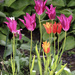Pentecostal Tulips