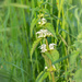 The white nettle