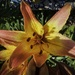 First oriental lily of the season.