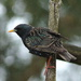 The Starling: Poised to Take Off