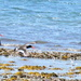 Takeoff...... #2 Oystercatchers series