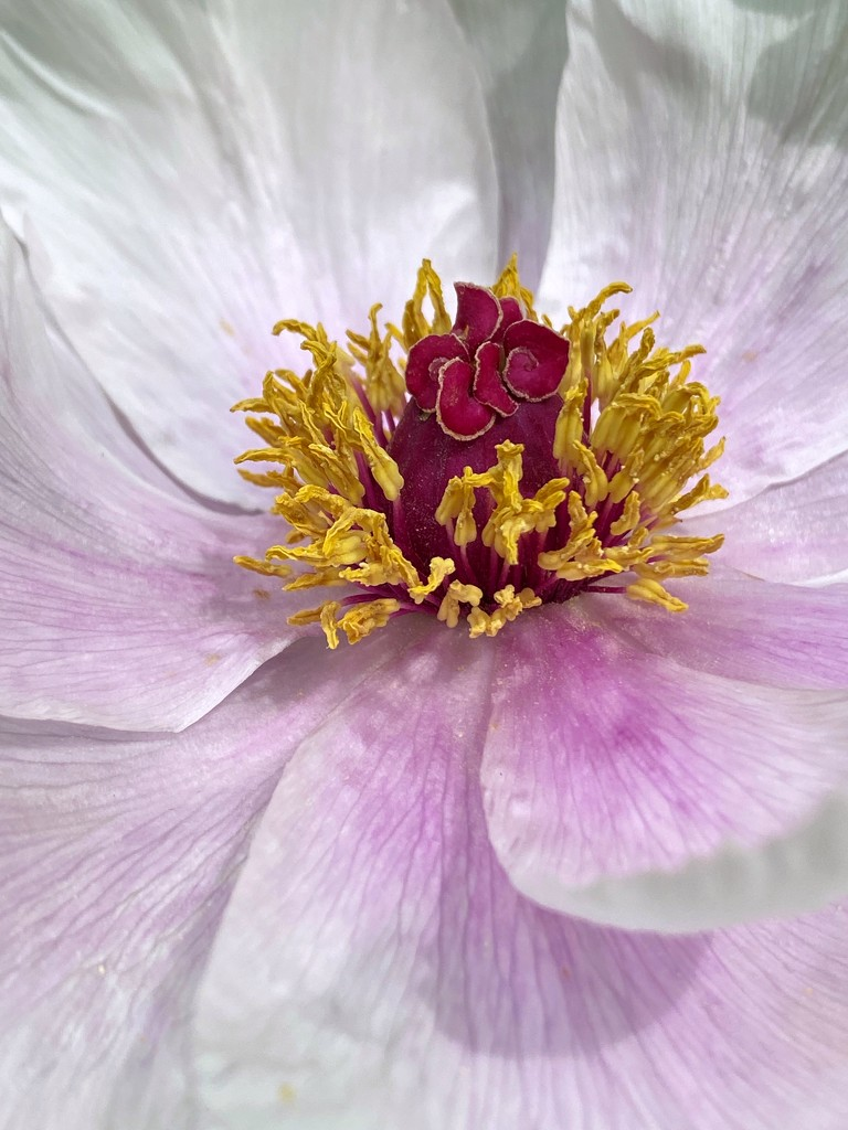 Peony in Bloom by njmom3