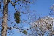 15th May 2021 - mistletoe and magnolias