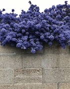 15th May 2021 - Ceanothus & Grey wall