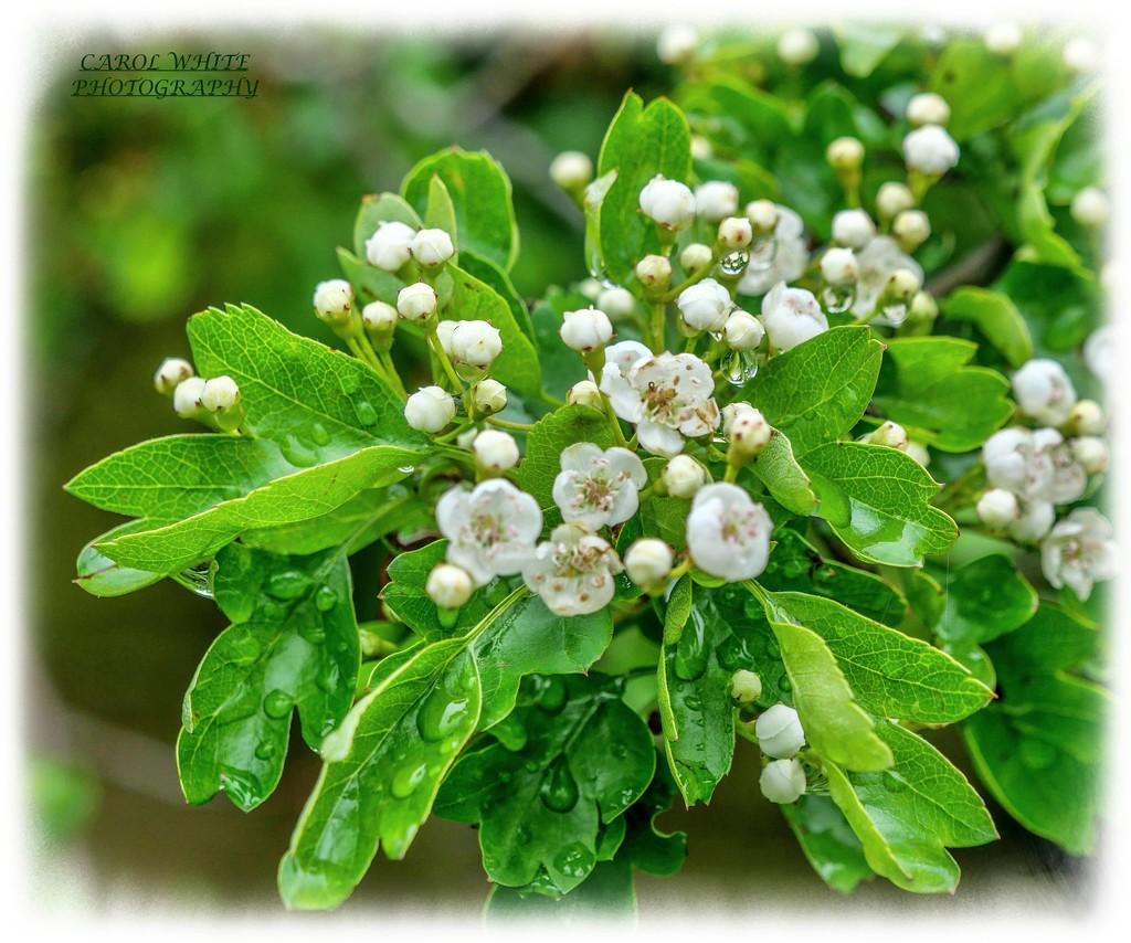 May Blossom by carolmw
