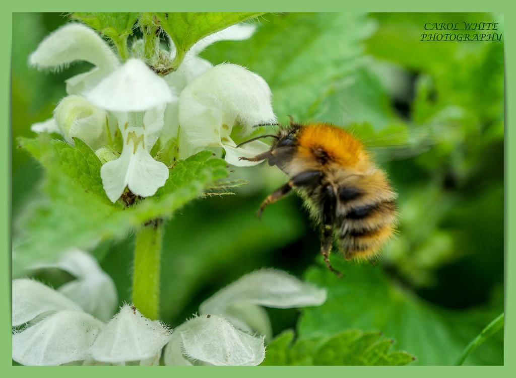 Seeking Pollen by carolmw
