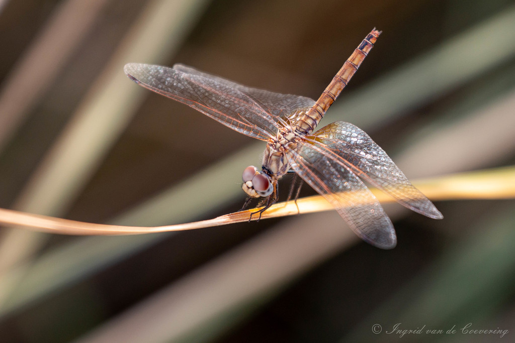 A dragonfly...  by ingrid01