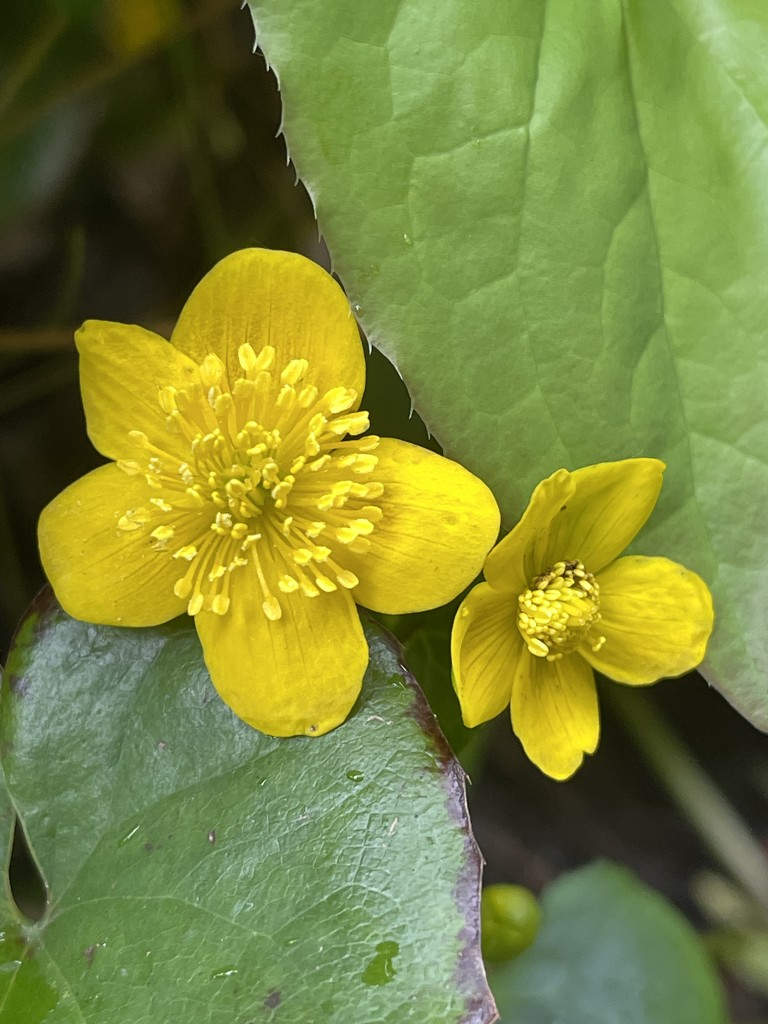Marsh marigold by tinley23
