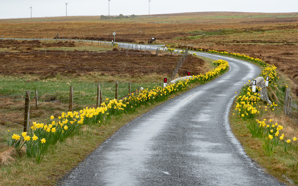 Daffodil Avenue by lifeat60degrees