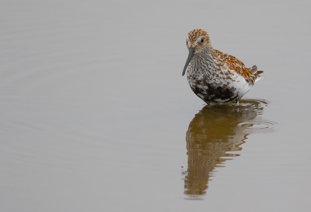 Dunlin by lifeat60degrees