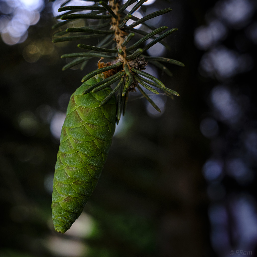 Green PineCone by ramr