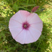 Mallow bindweed