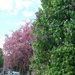 Half Crabapple, Half Lilac