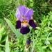 A Bearded Iris