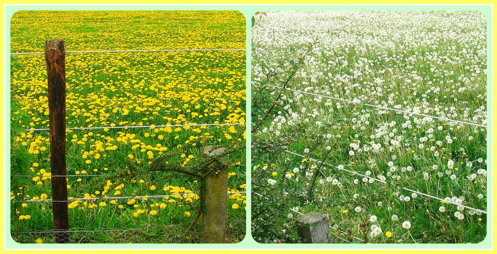 Dandelions by gijsje