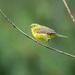 Lovely Little Warbler by nicoleweg