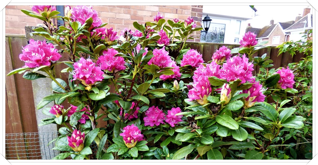 Rhododendron  by beryl