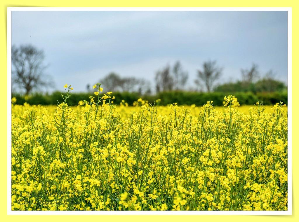 Rape Seed Flowers by carolmw