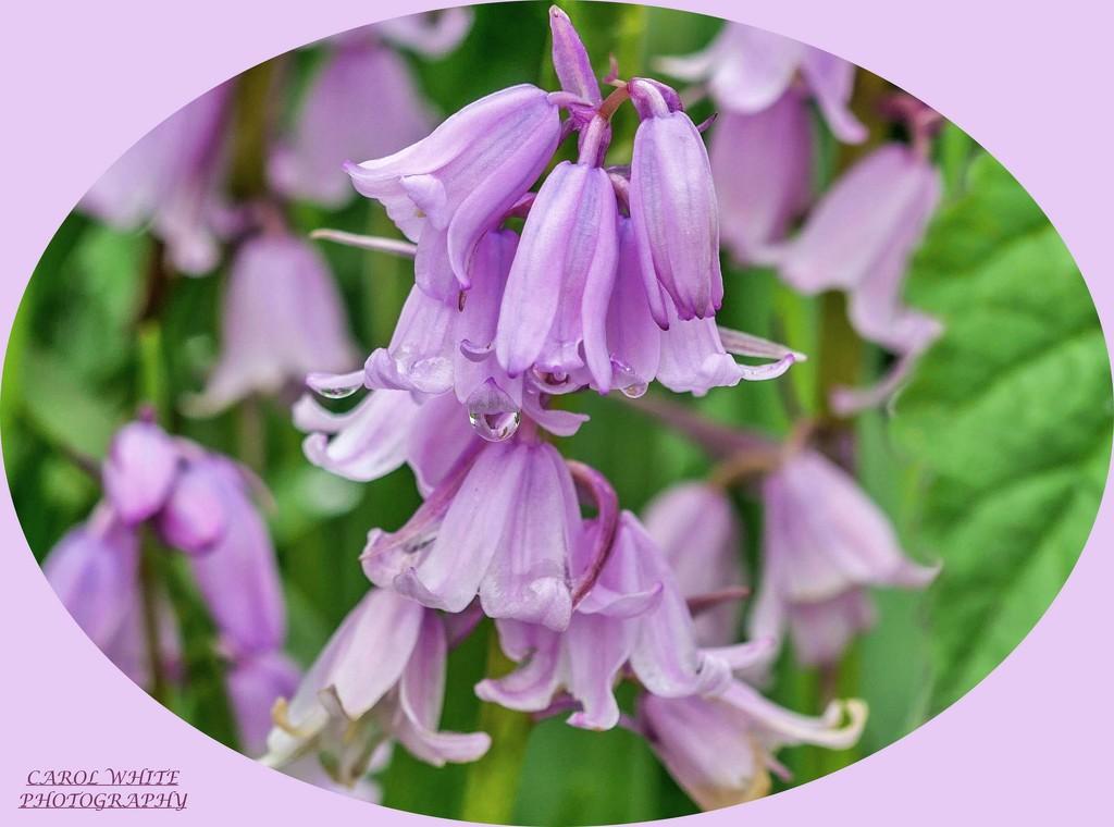 Pink Bluebells by carolmw