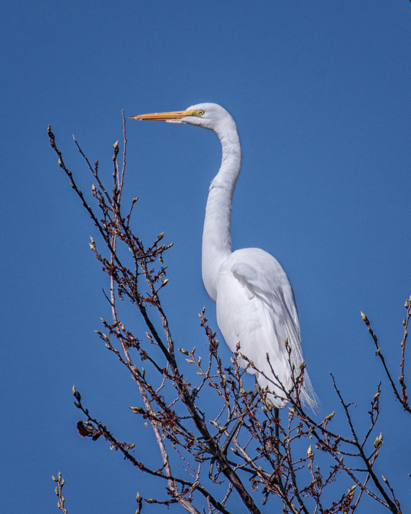 Great Egret by aecasey