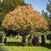 Tree at Burghill Church