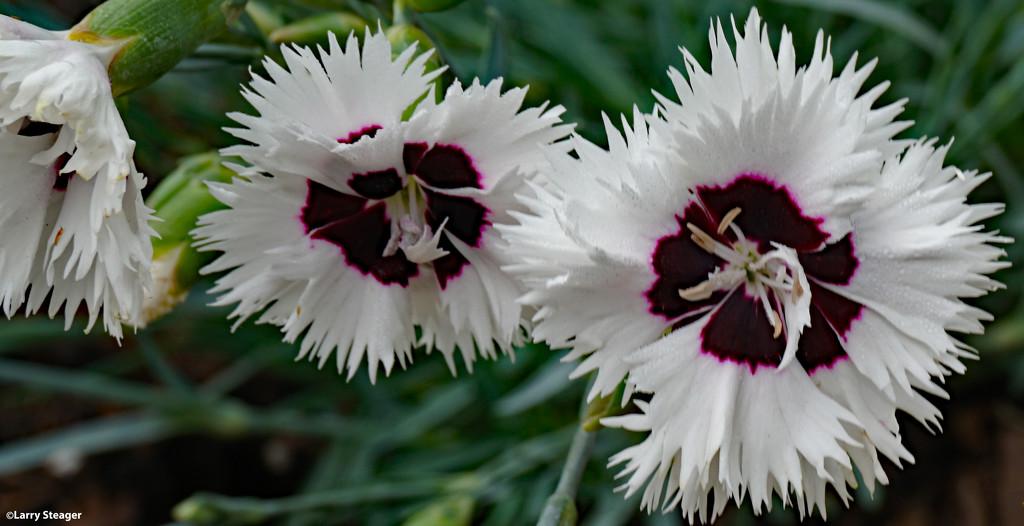 Spring 2021 dianthus by larrysphotos