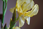 15th May 2021 - Spring 2021 Yellow iris