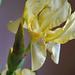 Spring 2021 Yellow iris